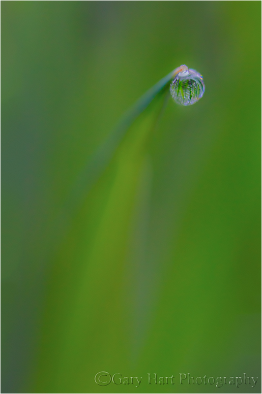 Meadow Dewdrop, Yosemite Valley