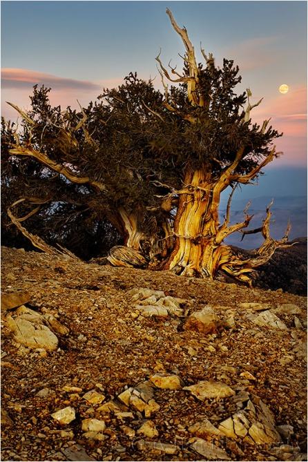 Gary Hart Photography, Bristlecone Moonrise