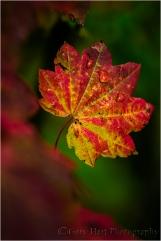 Gary Hart Photography, Mt. Hood Autumn Leaf