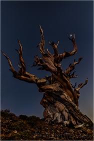 Gary Hart Photography, Bristlecone Moon, Schulman Grove, White Mountains, California