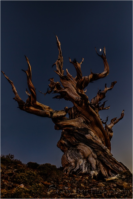 Gary Hart Photography, Bristlecone Moon, Schulman Grove, White Mountains, California