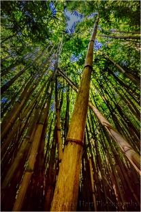 Gary Hart Photography: Looking Up, Pipiwai Bamboo Forest, Maui