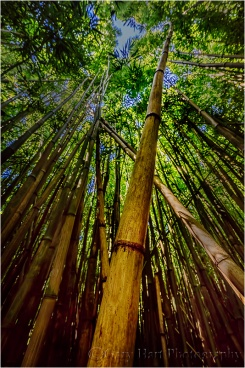 Gary Hart Photography: Looking Up, Pipiwai Bamboo Forest, Maui