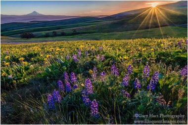 Gary Hart Photography: Wildflowers and Mt. Hood, Columbia Hills State Park, Washington