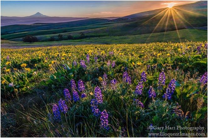 Gary Hart Photography: Wildflowers and Mt. Hood, Columbia Hills State Park, Washington