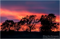 Flaming Oaks, Sierra Foothills, California