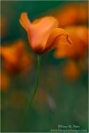 Gary Hart Photography: Dancing Poppy, Sierra Foothills, California