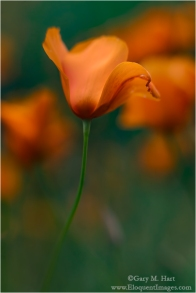 Gary Hart Photography: Dancing Poppy, Sierra Foothills, California