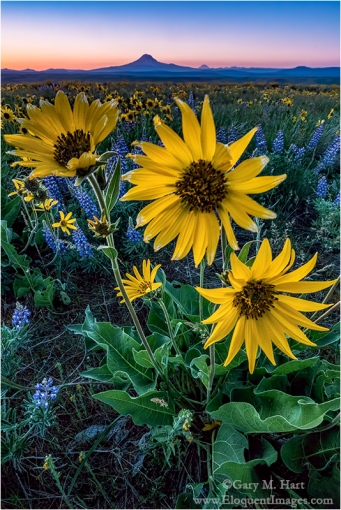 Gary Hart Photography: Wildflowers and Mt. Adams, Washington