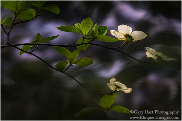 Gary Hart Photography: Floating Dogwood, Merced River, Yosemite