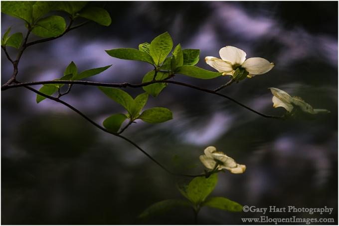 Gary Hart Photography: Floating Dogwood, Merced River, Yosemite