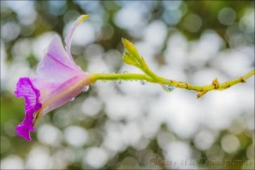 Gary Hart Photography: Raindrops on Orchid, Lava Tree State Park, Hawaii