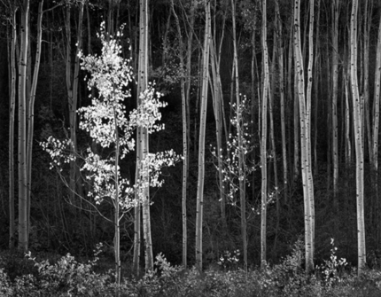 "©Ansel Adams Aspen, New Mexico, 1958 ""The majority of the viewers... think it was a sunlit scene. When I explain that it was diffused lighting from the sky and also reflected light from distant clouds, some rejoin, 'Then why does it look the way it does?' Such questions remind me that many viewers expect a photograph to be a literal simulation of reality."""