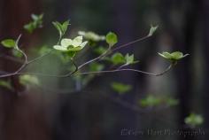 Gary Hart Photography: Forest Dogwood, Yosemite Valley