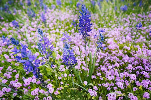Gary Hart Photography: Camas and Sea Blush (Rosy Plectritus), Catherine Creek Trail, Columbia River Gorge