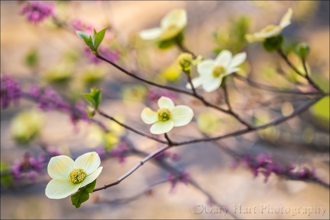 Gary Hart Photography: Dogwood and Redbud, Merced River, Yosemite