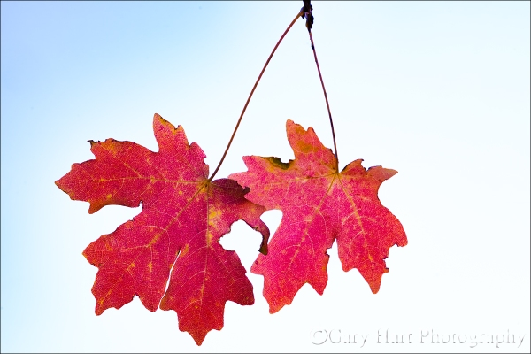 Gary Hart Photography: Red Maple Twins, Zion National Park