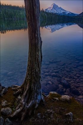 Lakeside Tree, Lost Lake and Mt. Hood, Oregon