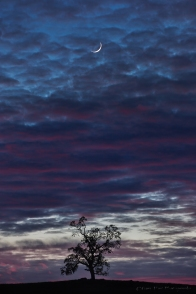 Gary Hart Photography: Alone Together, Oak and Crescent Moon, Sierra Foothills, California