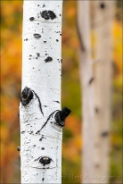 Gary Hart Photography: Autumn Aspen,Grand Tetons National Park