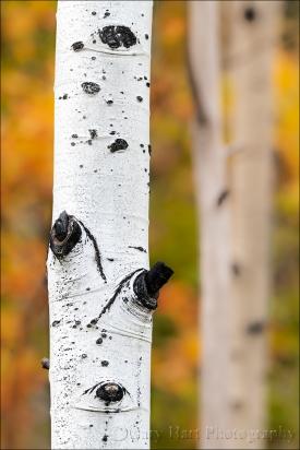 Gary Hart Photography: Autumn Aspen,Grand Tetons National Park