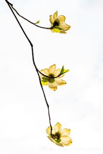 Gary Hart Photography: Dogwood Trio, Yosemite