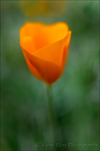 Gary Hart Photography: New Poppy, Merced River Canyon, California