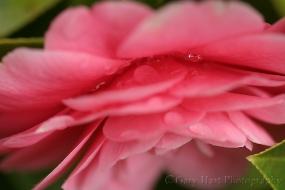 Gary Hart Photography: Raindrops on Camelia, Sacramento
