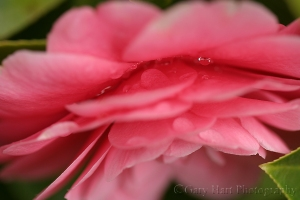Gary Hart Photography: Raindrops on Camelia, Sacramento