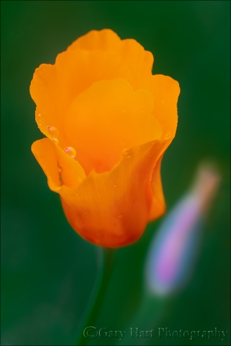 Gary Hart Photography: Looking Up, Raindrops on Poppy, Sierra Foothills