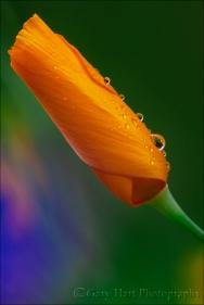 Gary Hart Photography: Raindrops on Poppy, Sierra Foothills, California