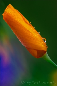 Gary Hart Photography: Raindrops on Poppy, Sierra Foothills, California