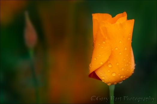 Gary Hart Photography: Spring Rain, Raindrops on Poppy, Sierra Foothills