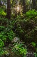 Gary Hart Photography: Sunstar, Redwood Grove, Big Sur