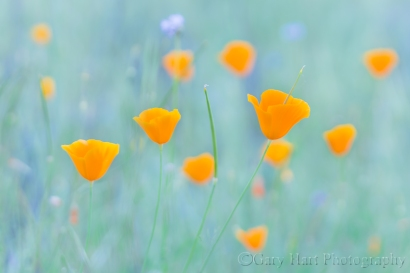 Gary Hart Photography: Poppy Pastel, Sierra Foothills, California
