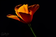 Gary Hart Photography: Sunlit Poppy, Sierra Foothills, California