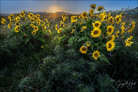 Gary Hart Photography: Sunstar and Balsam Root, Tom McCall Preserve, Oregon