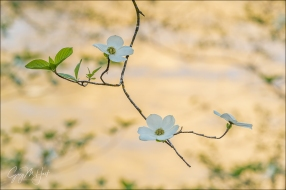 Gary Hart Photography: Dogwood Trio, Merced River, Yosemite