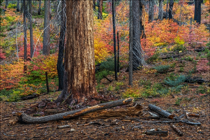 Gary Hart Photography: Dogwood in Autumn, Tuolumne Grove, Yosemite